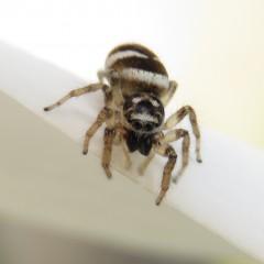Des araignées qui sautent mais pas aux yeux !